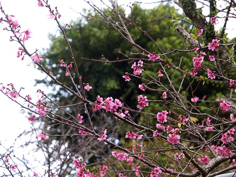 sakura_02_nodake090115.jpg