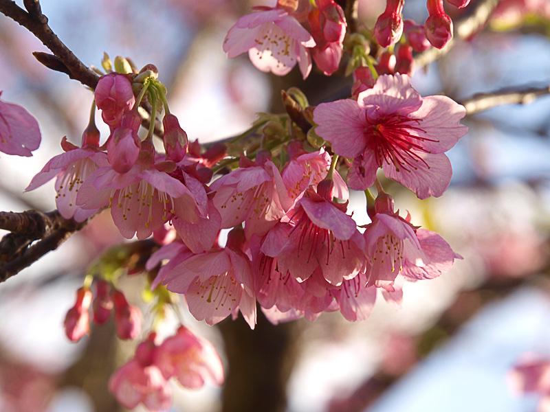 sakura_z02_090125.jpg